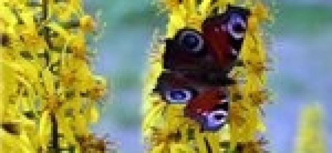 Уход и выращивание Бузульника Пржевальского