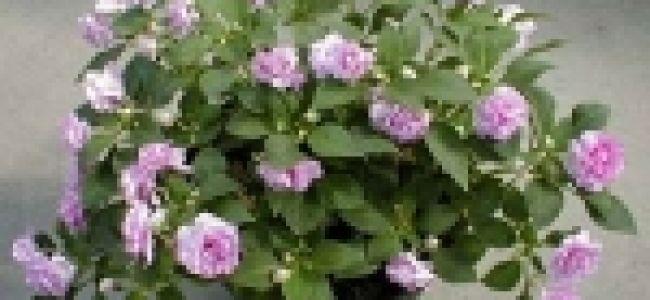 Бальзамин Уоллера — выращивание и уход