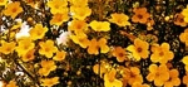 Сорта курильского чая для высадки бордюров и альпинариев