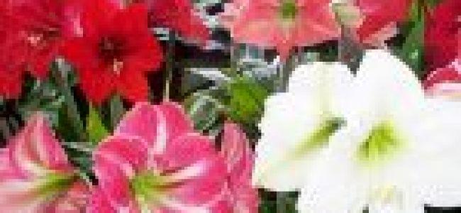Полив, уход и выращивание гиппеаструма