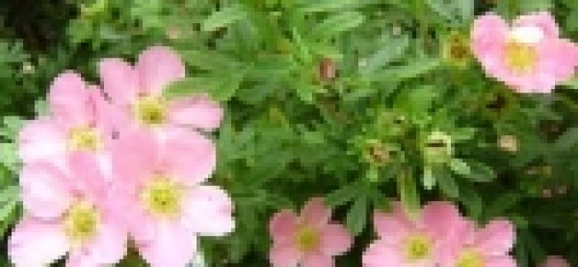 Зимовка и стрижка лапчатки кустарниковой