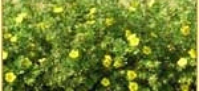 Уход и выращивание курильского чая