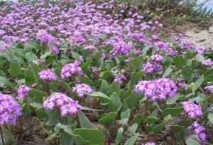 цветок Аброния фото