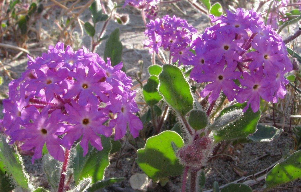 Описание цветка Аброния